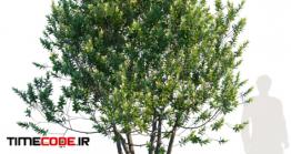 دانلود مدل آماده سه بعدی : درخت Laurus Nobilis   Bay Tree   Grecian Laurel Tree