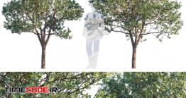 دانلود مدل سه بعدی :  درخت Paperbark Maple   Acer Griseum # 2