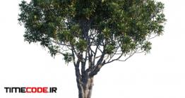دانلود مدل آماده سه بعدی : درخت Pittosporum Tobira Mature