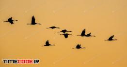 دانلود عکس استوک : ضد نور پرواز پرندگان Cranes Against Orange Sky