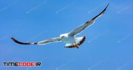 دانلود عکس استوک : پرواز مرغ دریایی در آسمان Seagull Hovers In Sky