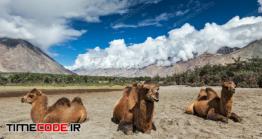 دانلود عکس شتر  Camel In Nubra Vally