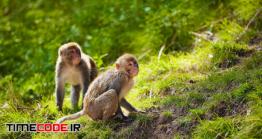 دانلود عکس میمون در جنگل  Rhesus Macaques In India